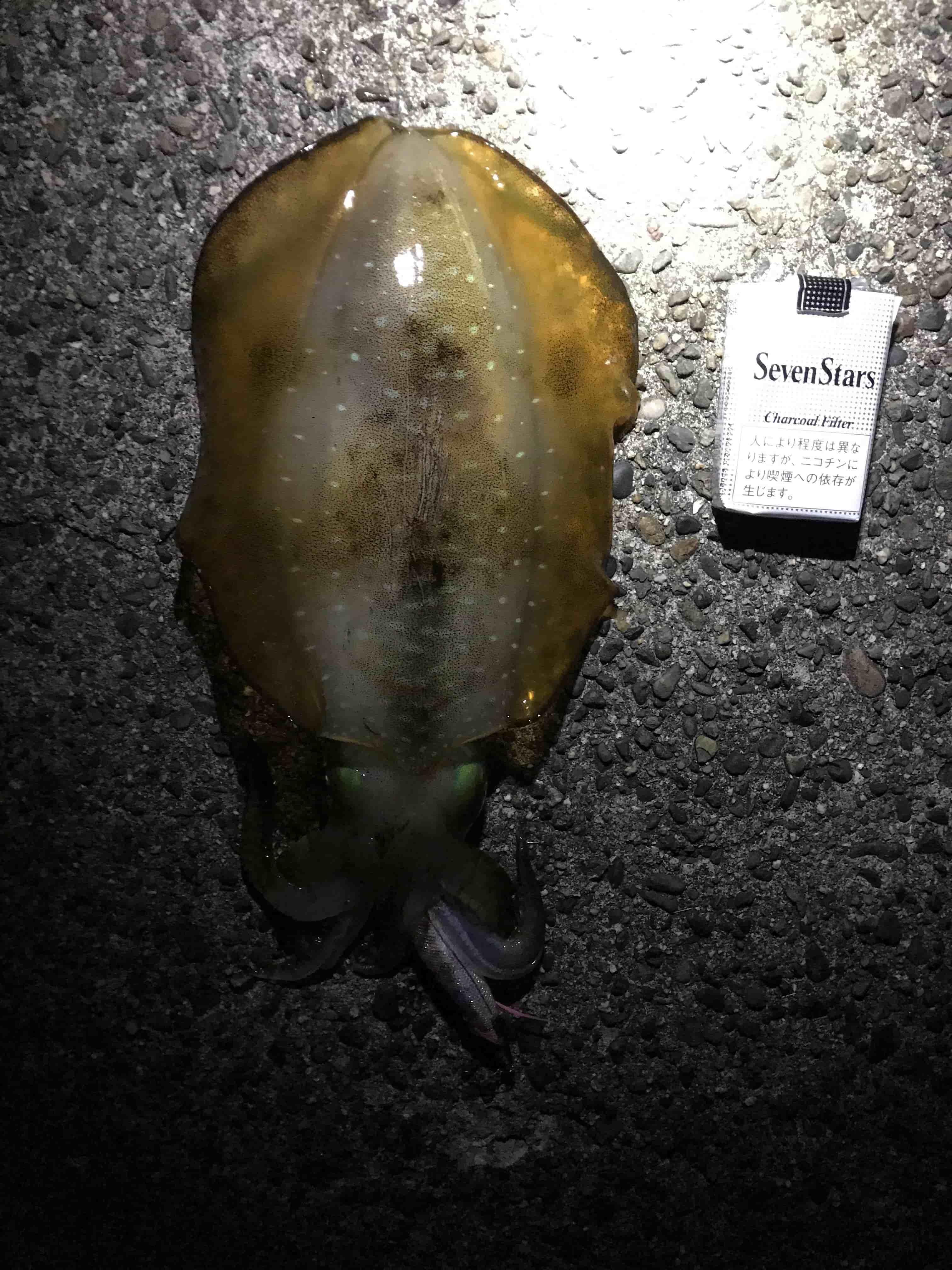 中紀エギングショアジギングで春イカゲット釣行釣果報告(平成29年6月11日)