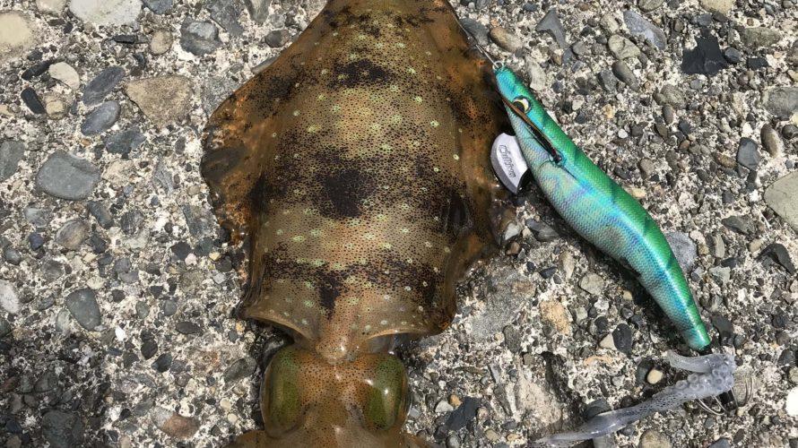 ゴールデンウィーク前の南紀春イカ釣行釣果報告