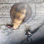 泉南春イカもまだまだいける?雨のエギングアオリイカ釣行釣果~ムラムラチェリー、、、、ホンマに釣れる!?!?