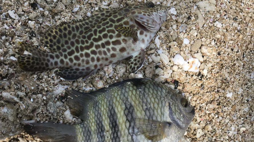 【動画付き】徳之島へ釣り遠征、GTが釣りたいショアキャスティング釣行記day6
