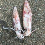 夏の日本海でケンサキエギングとキッシングを楽しむ五目釣りフィッシングトリップ