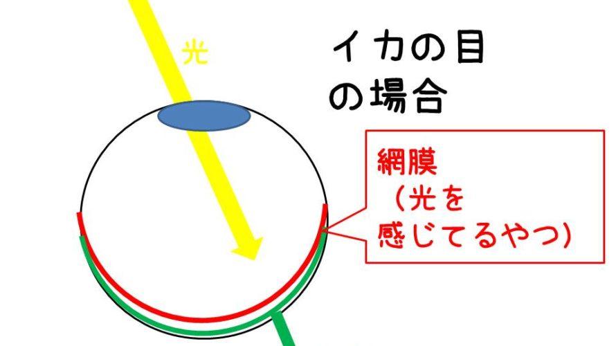 イカの視覚イカの盲点頭足類の目の構造
