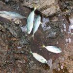 和歌山中紀からエギングロッドでショアジギング青物回遊爆釣果情報