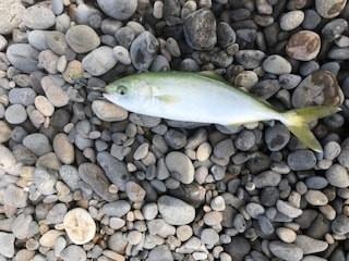 和歌山南紀夏イカエギングとショアジギングでツバス・ハマチとアオリイカ釣果報告・釣行記